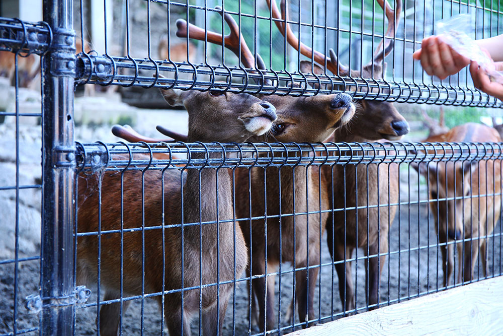 鹿島の鹿たち