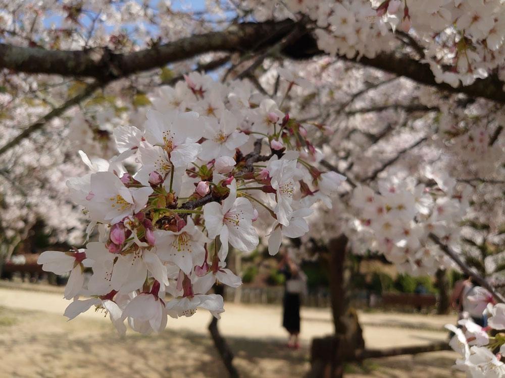 愛媛 道後湯之町店 桜写真