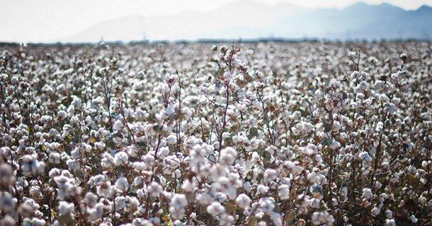 綿花栽培の歴史